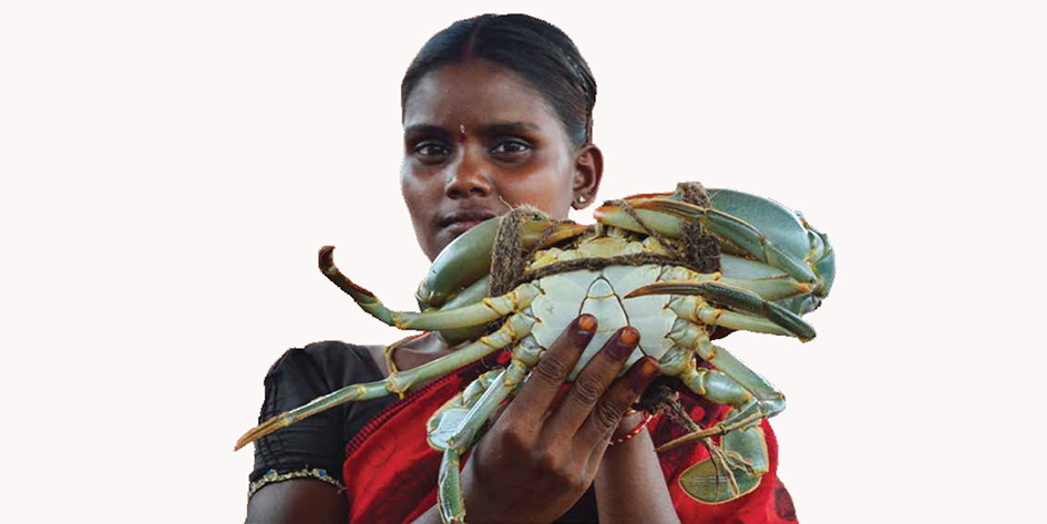 Pond reared mud crab ready for marketing in the hands of tribal women at Sorlagondi village, Nagayalanka, Andhra Pradesh