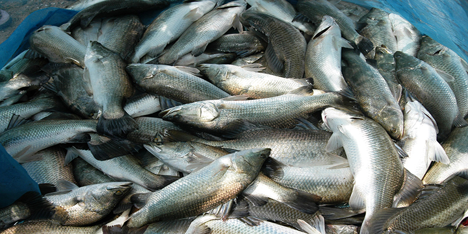 Pile of farm-reared seabass harvested from pond in Nellore, Andhra Pradesh using hatchery produced seeds